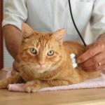 Il diabete felino: il diabete nei gatti